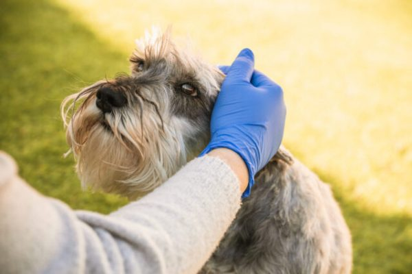 Woman with blue medical gloves caresses a miniature schnauzer gently